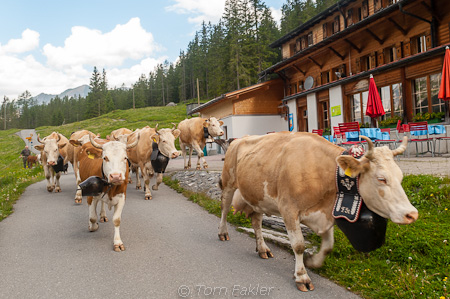 Cows head up the mountain