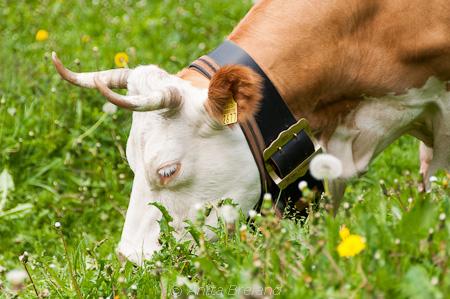Alp grazing
