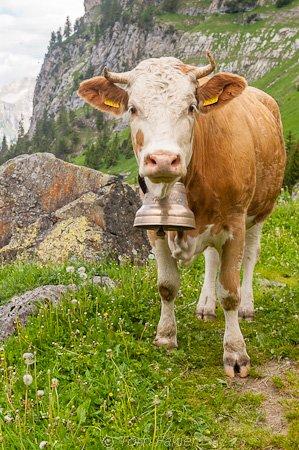 Cow in alpine meadow
