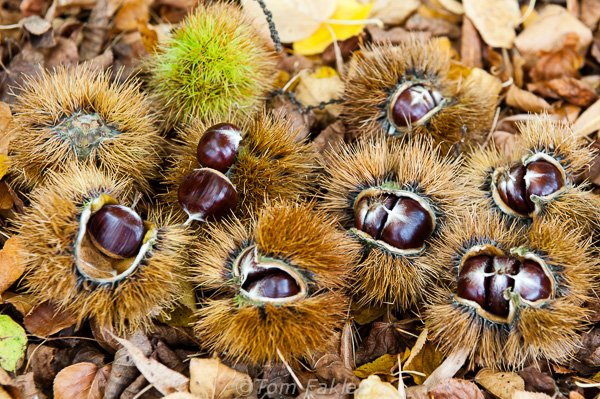 Chestnuts, still in their husks