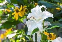 Summer blooms in a Greenwich Village garden