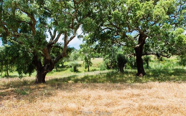 A grove of cork oaks