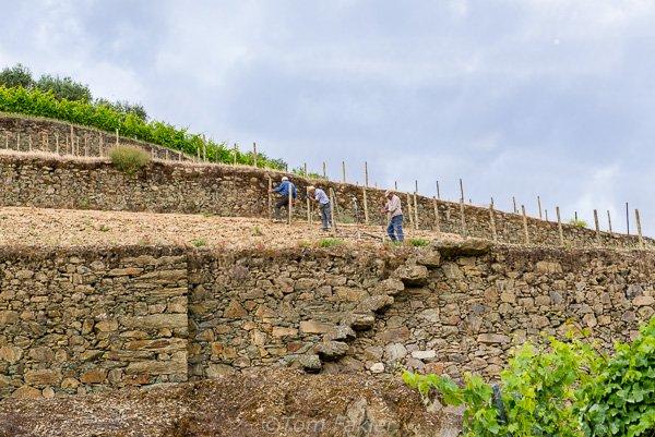 prepare to plant new vines