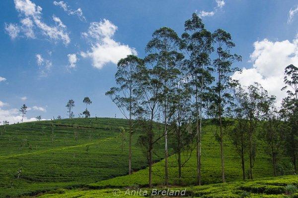 tea country