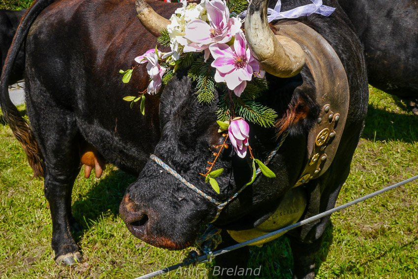 Swiss cow returning from summer pastures