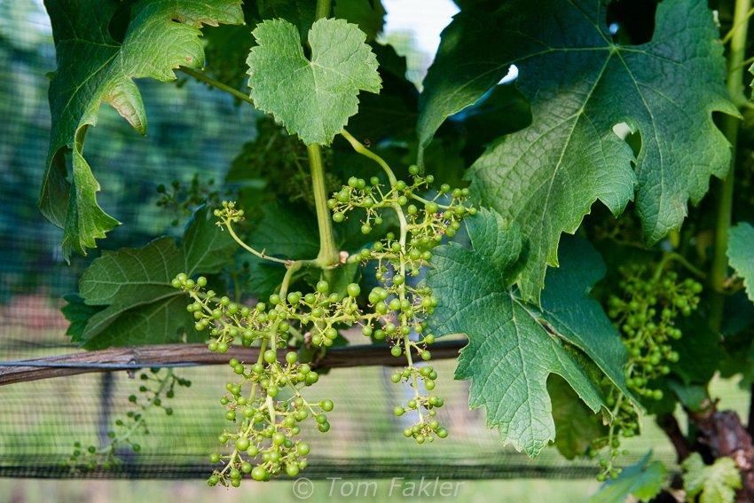 Wine grapes early in the season, on the Vallombrosa estate, Ticino