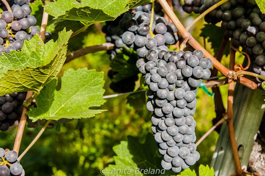 Harvest time in a Valais vineyard