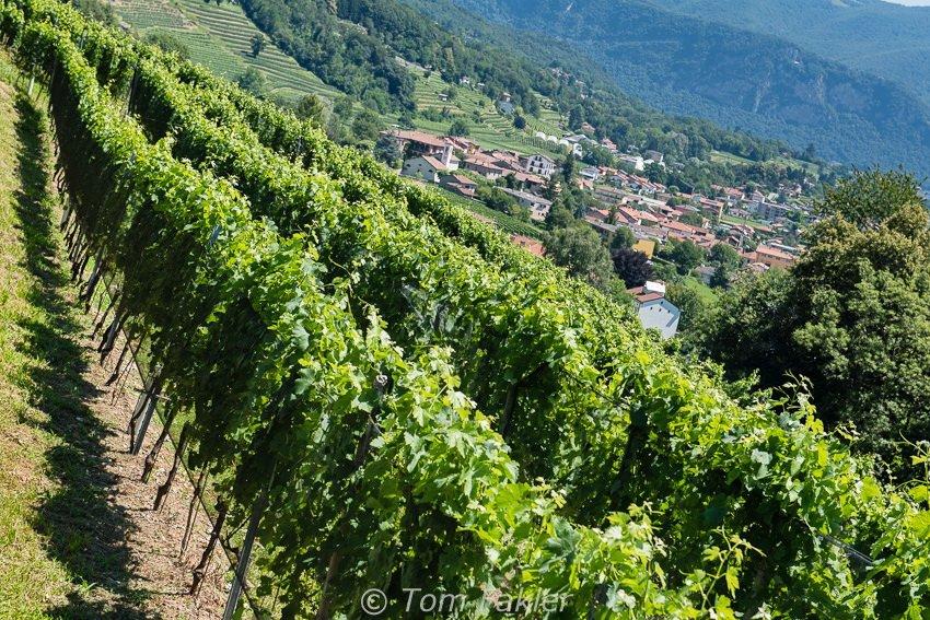 The vineyard of Cantine Sociale Mendrisio at Tenuta Montalbano in Stabio