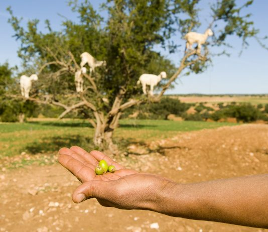 Argan nuts, cultivated only in Morocco