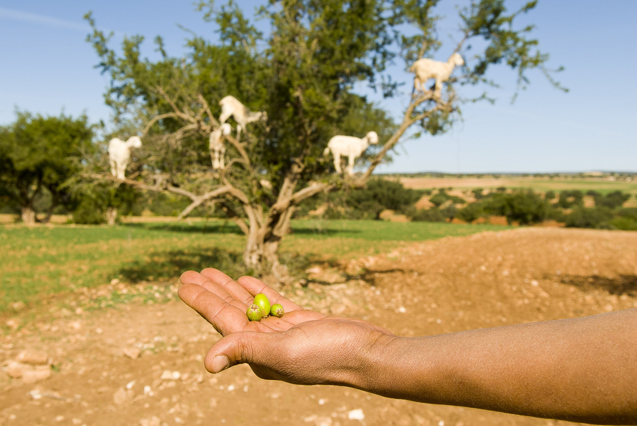 Argan oil is produced from the olive-like nuts of the Moroccan Ironwood tree