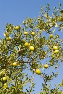 Argan tree with fruit