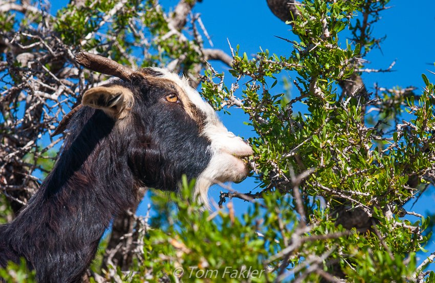 Goat eating argan nut