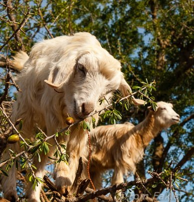 Goat nibbling argan nuts