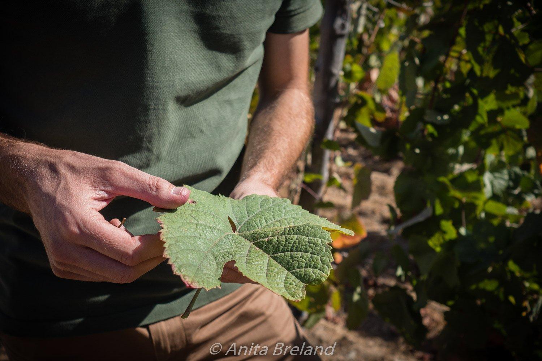 Quevedo vineyard