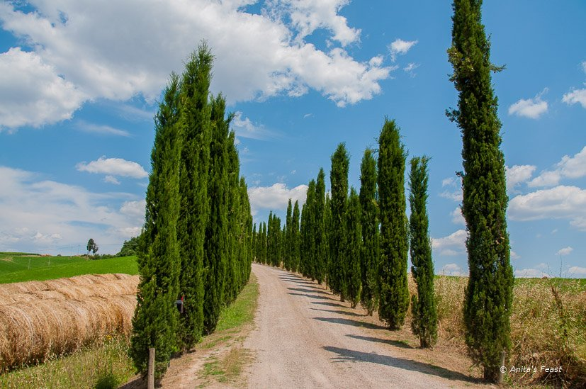 Tree lined road in Tuscany