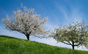 Cherry trees spring in Switzerland